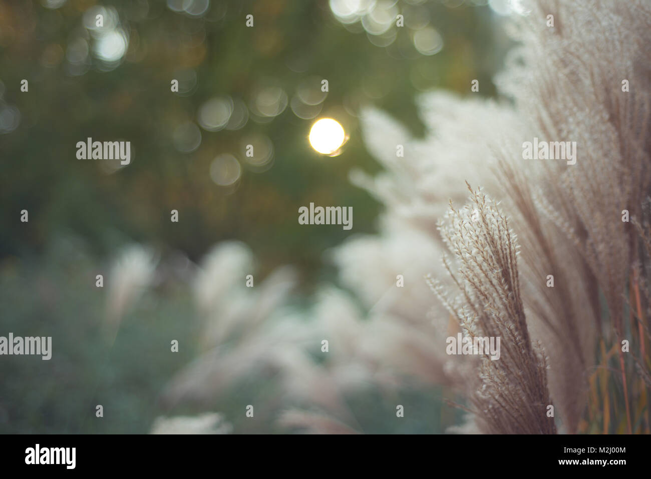 Soft textures of decorative tall grasses in the late summer afternoon sun. - Stock Image
