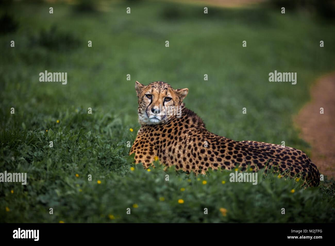 Beautiful Wild Cheetah resting on green fields, Close up - Stock Image