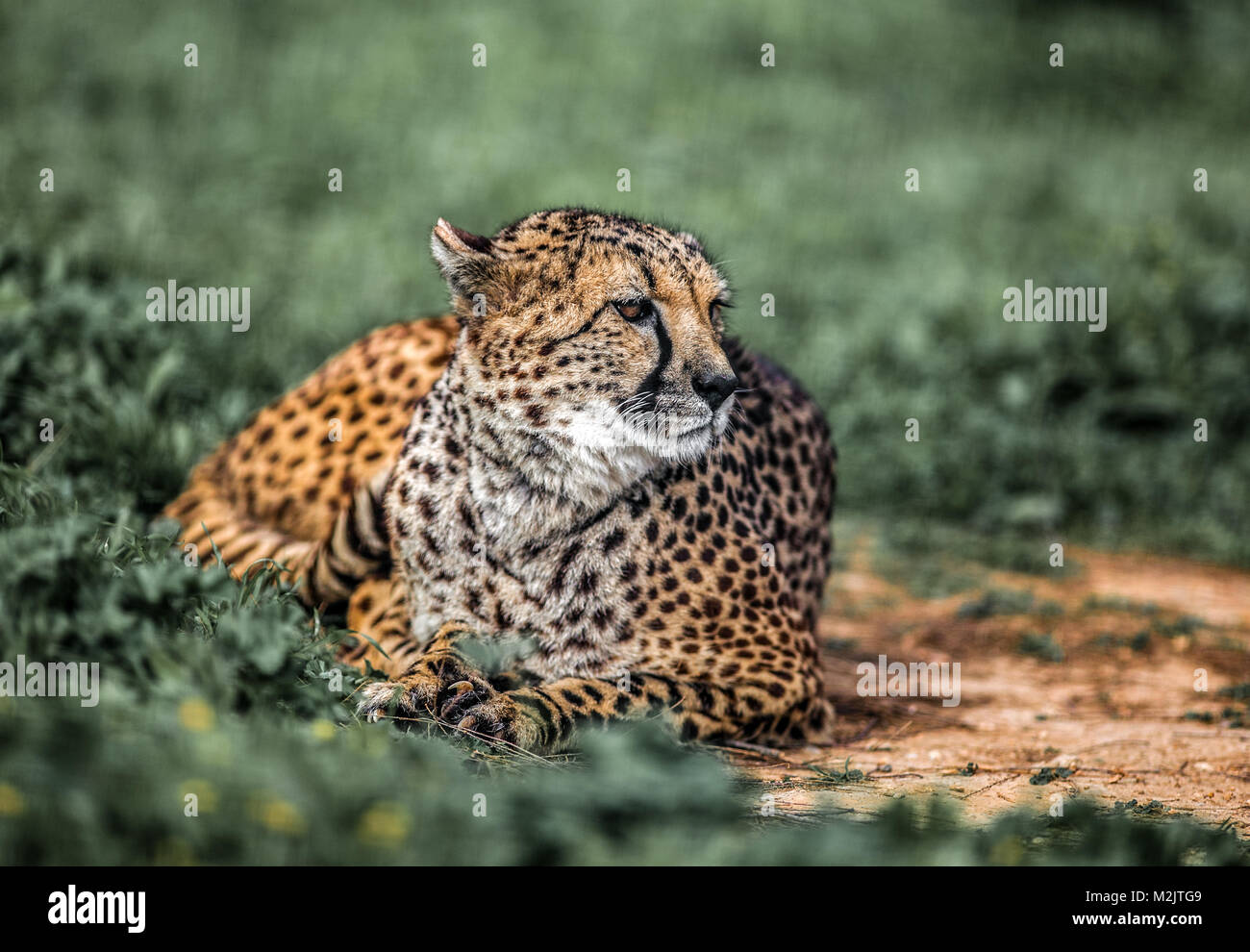 cheetah black background stock photos amp cheetah black