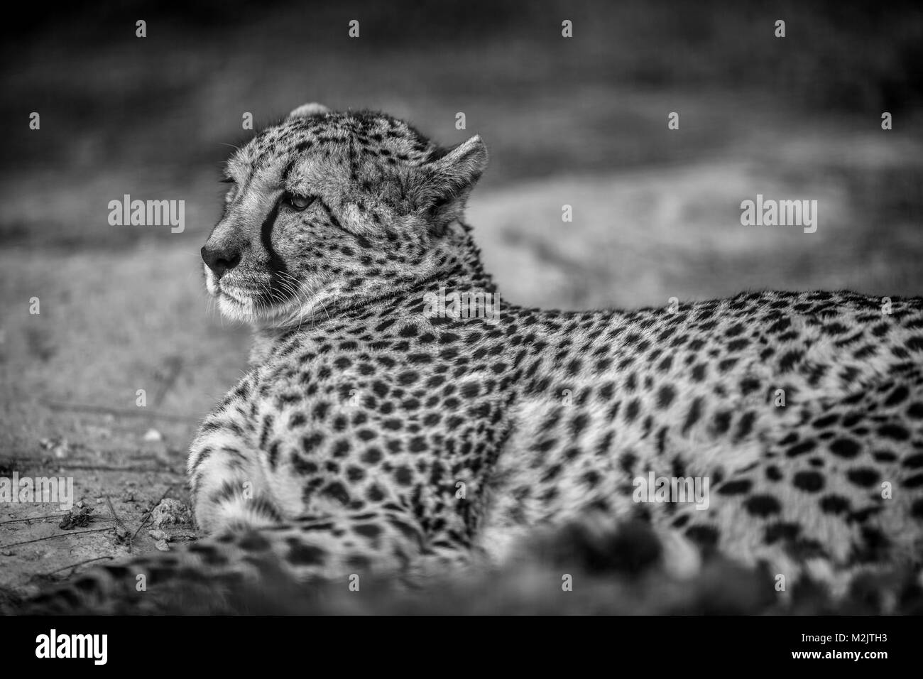 Beautiful Wild Cheetah resting on green fields, Close up, in Black and White - Stock Image
