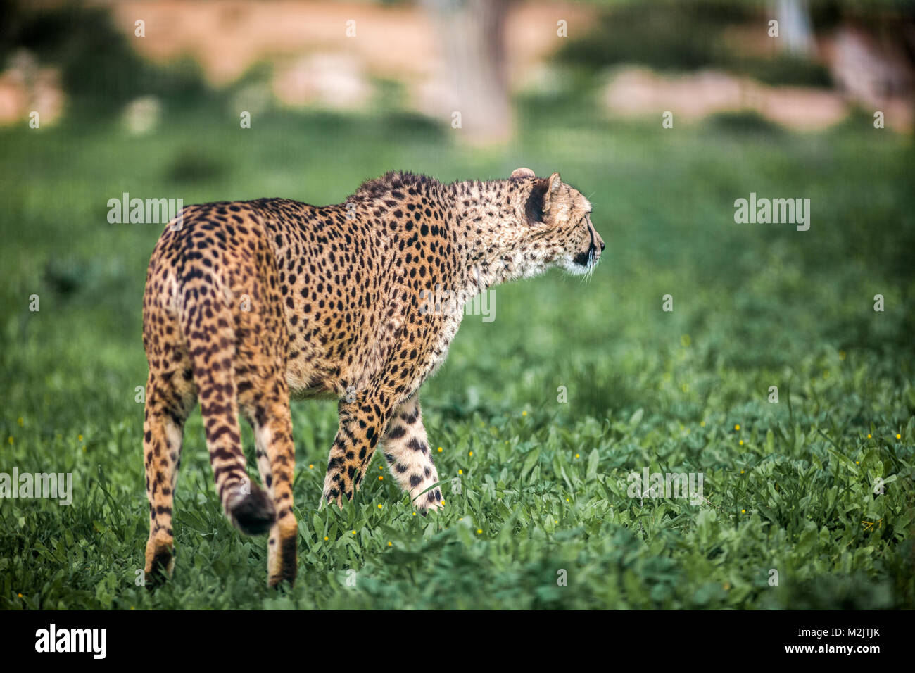 Beautiful Wild Cheetah walking careful on green fields, Close up - Stock Image