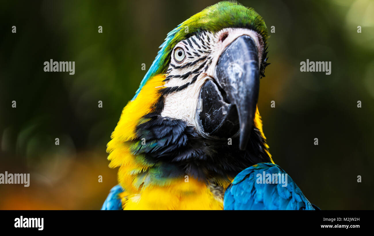 Blue and Yellow Macaw close-up landscape shots with blurred background - Stock Image