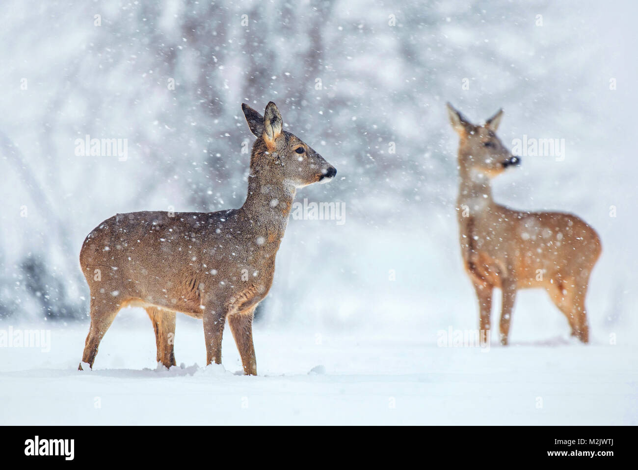 Wild roe deer standing in a snow covered field during snowfall - Stock Image