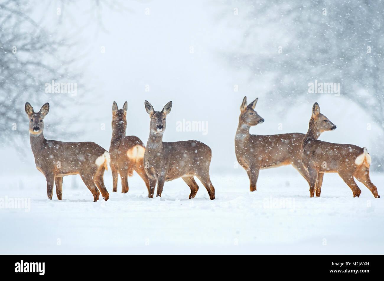 Roe deer herd in a field during snowfall - Stock Image