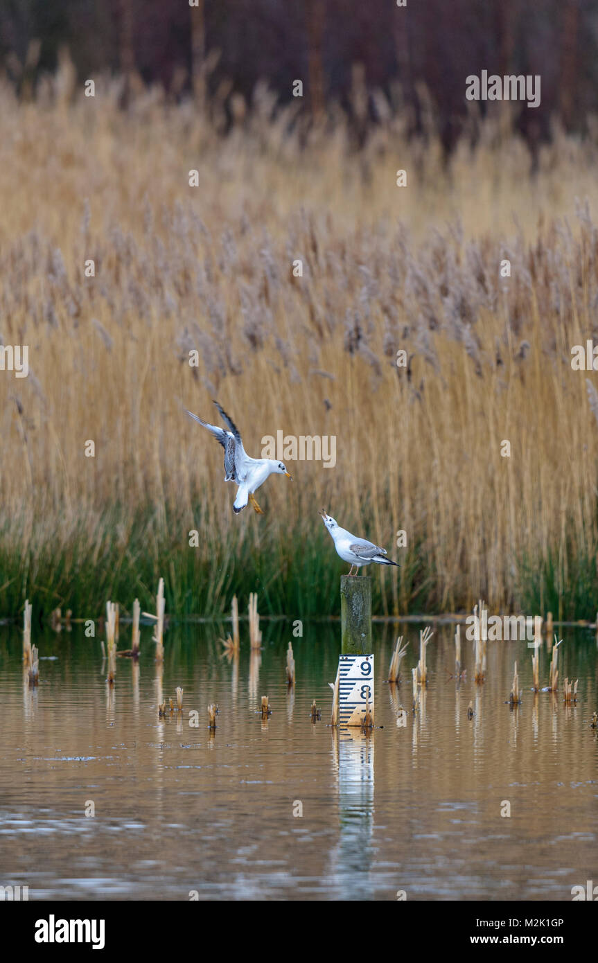 Two black-headed gulls (Larus ridibundus) in first winter plumage squabbling over a perch in a reedbed at the Yorkshire - Stock Image