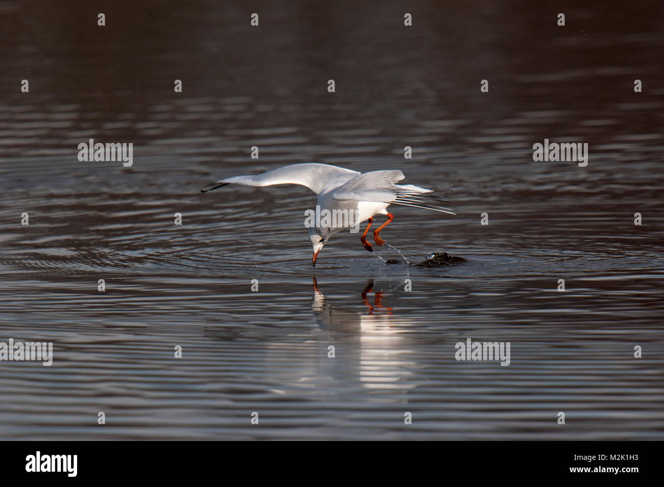 Black-headed gull (Larus ridibundus), adult in winter plumage, fishing by leaping off the water's surface into a Stock Photo