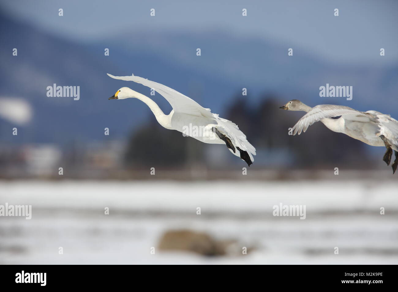 Tundra swan (Cygnus columbianus) in Japan Stock Photo
