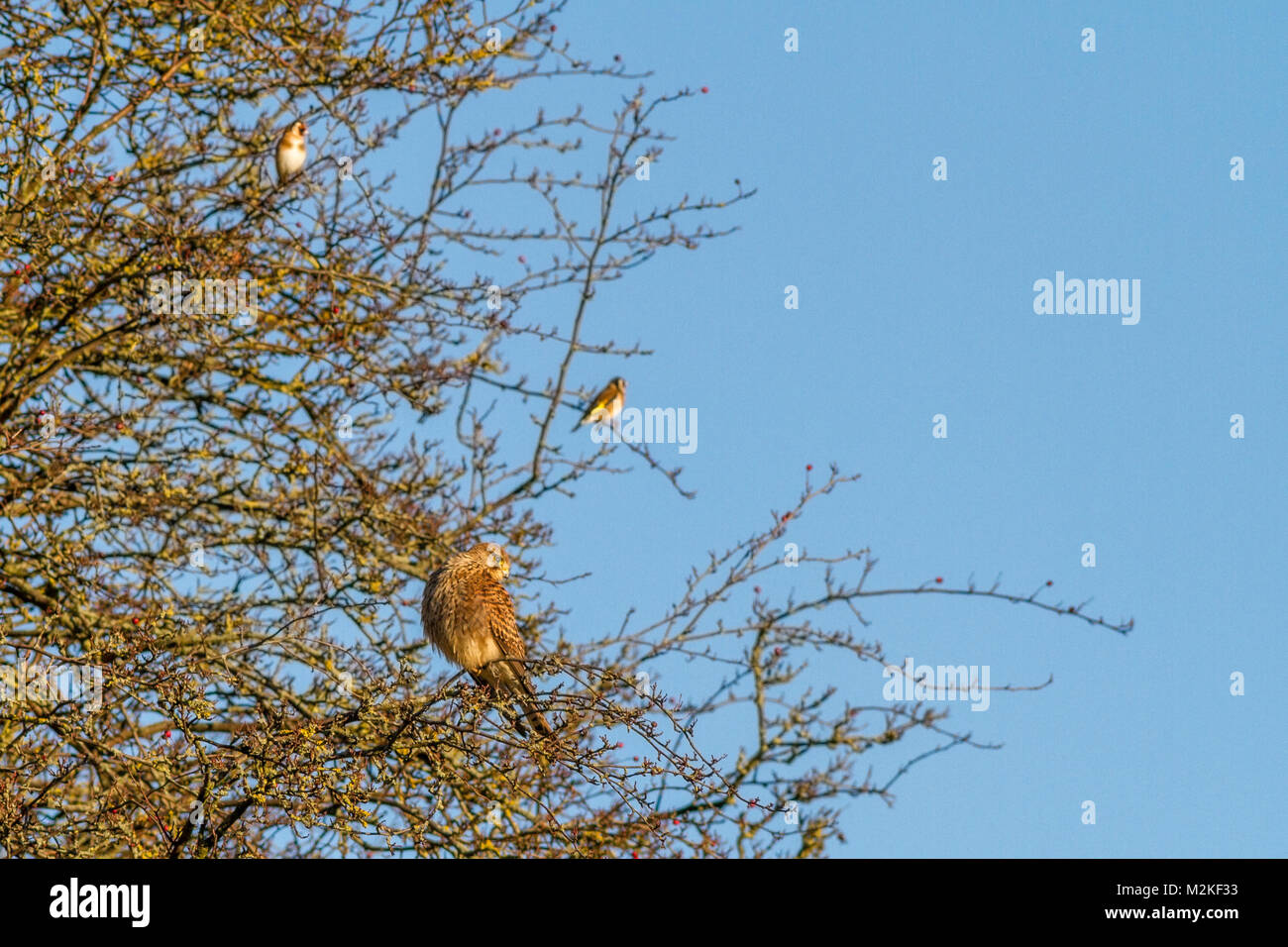 UK wildlife: female kestrel (Falco tinnunculus) sharing a tree with two goldfinches - Stock Image