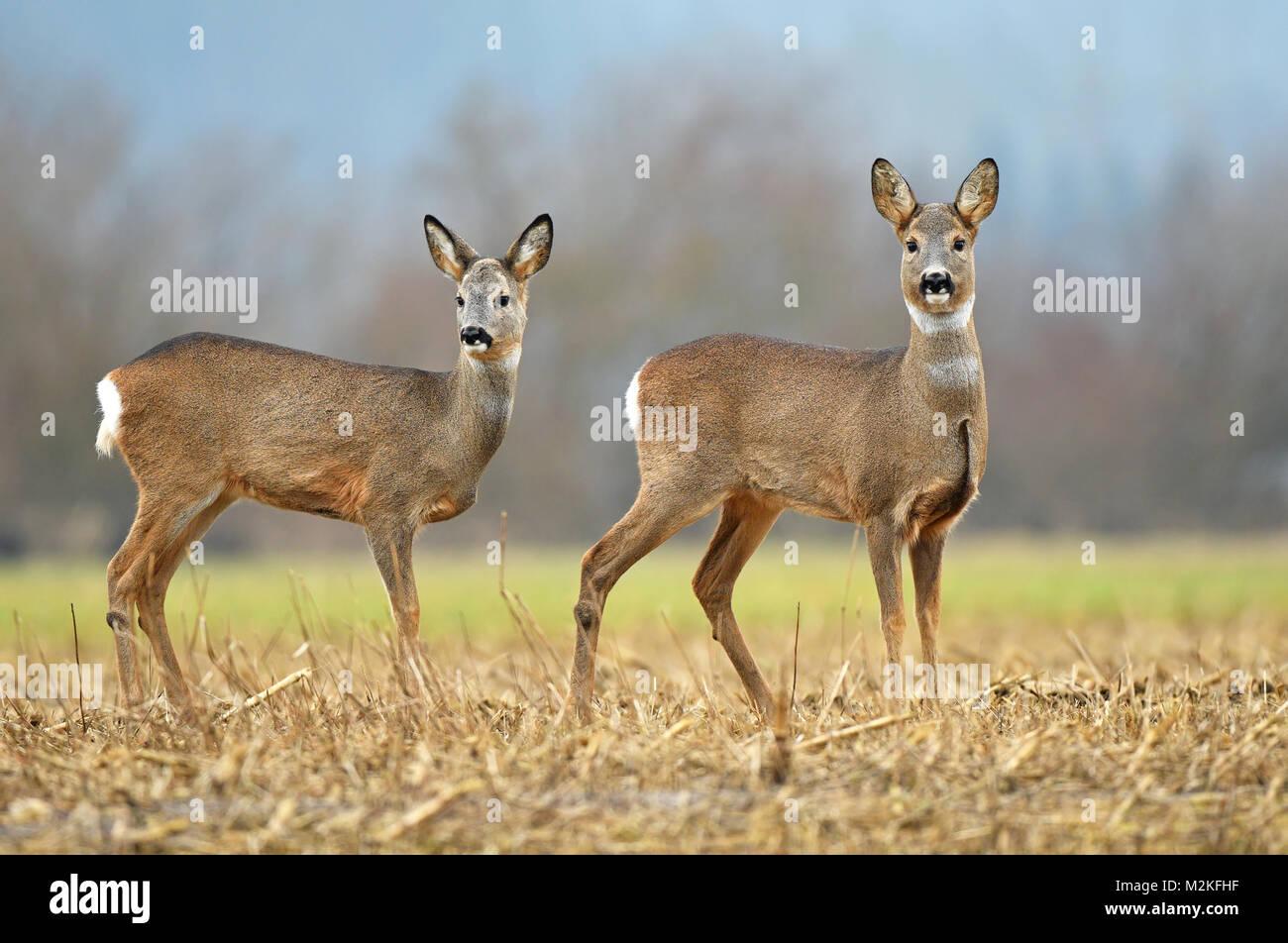 Two wild roe deer s in a field - Stock Image