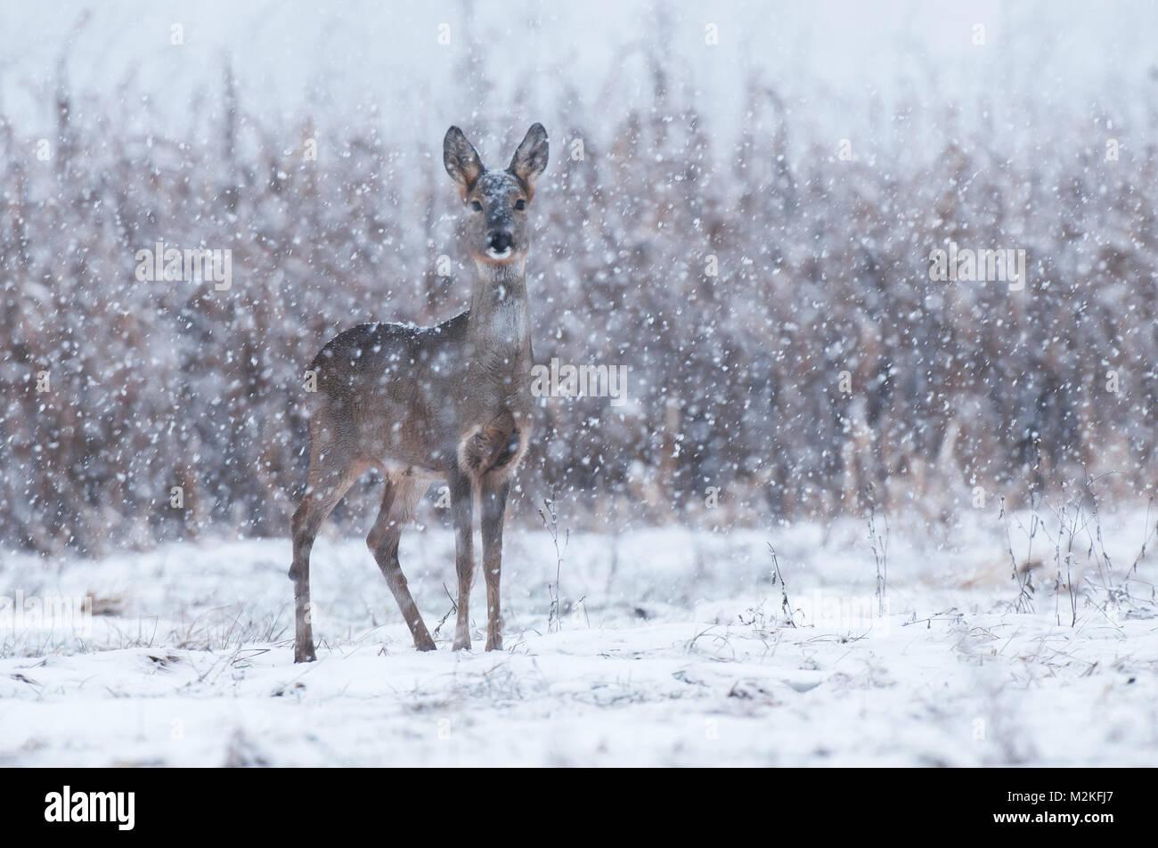 Wild roe deer in a snowstorm - Stock Image