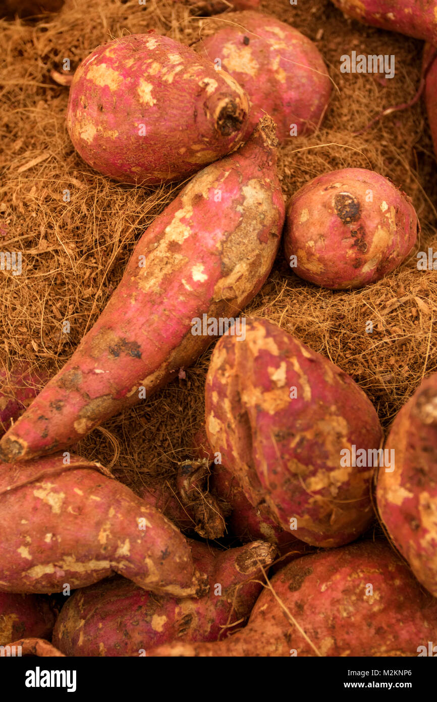 jamaican sweet potatoes in their preserving soil still-life food photograph - Stock Image