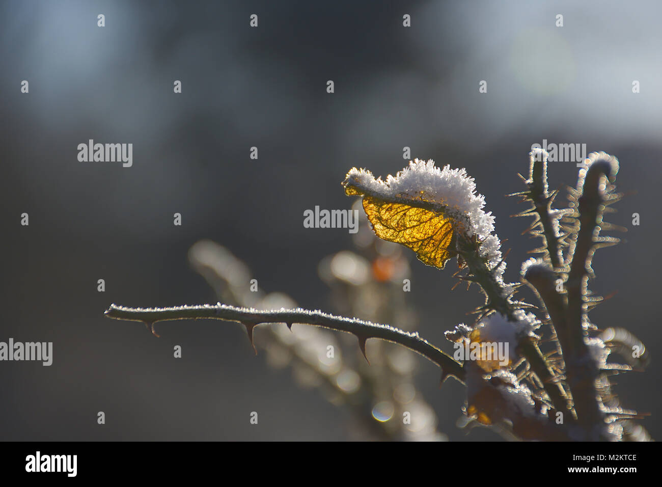 Dry,thorny field rose stem with yellow leaf and frozen snowcap lightened by morning sunlight.UK nature in cold winter,morning - Stock Image