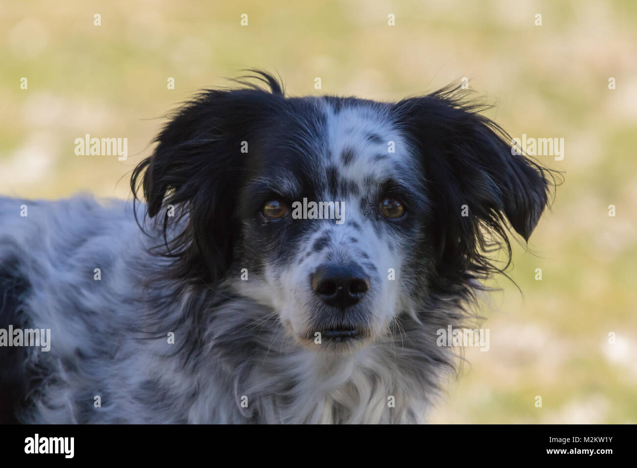 Dog, Canis lupus familiaris, Springer Spaniel Cross,  Adult Male Dog, Taken January 2018 in Almeria Province Andalucia - Stock Image