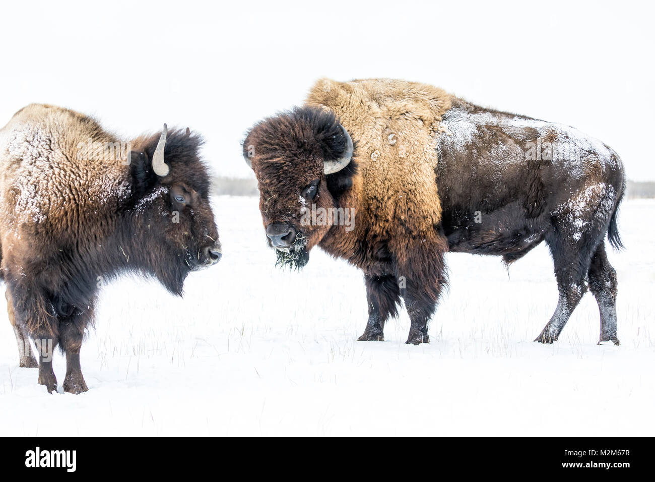 Plains Bison, bull, or Buffalo (Bison bison bison) in winter, Manitoba, Canada. - Stock Image
