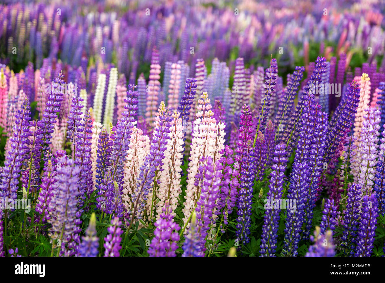 Field of wild lupins in New Zealand Stock Photo