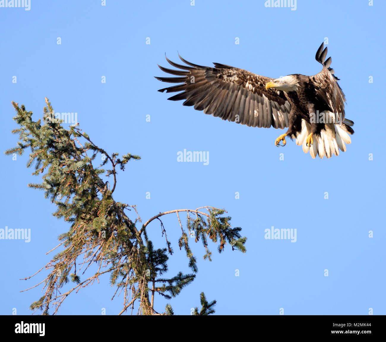 Landing mature bald eagle, Comox, Vancouver Island, British Columbia, Canada. - Stock Image
