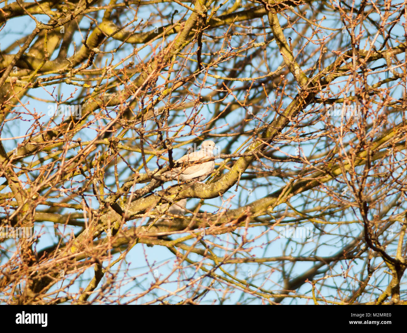 pigeon dove sat in trees bare branches autumn sky; essex; england; uk - Stock Image