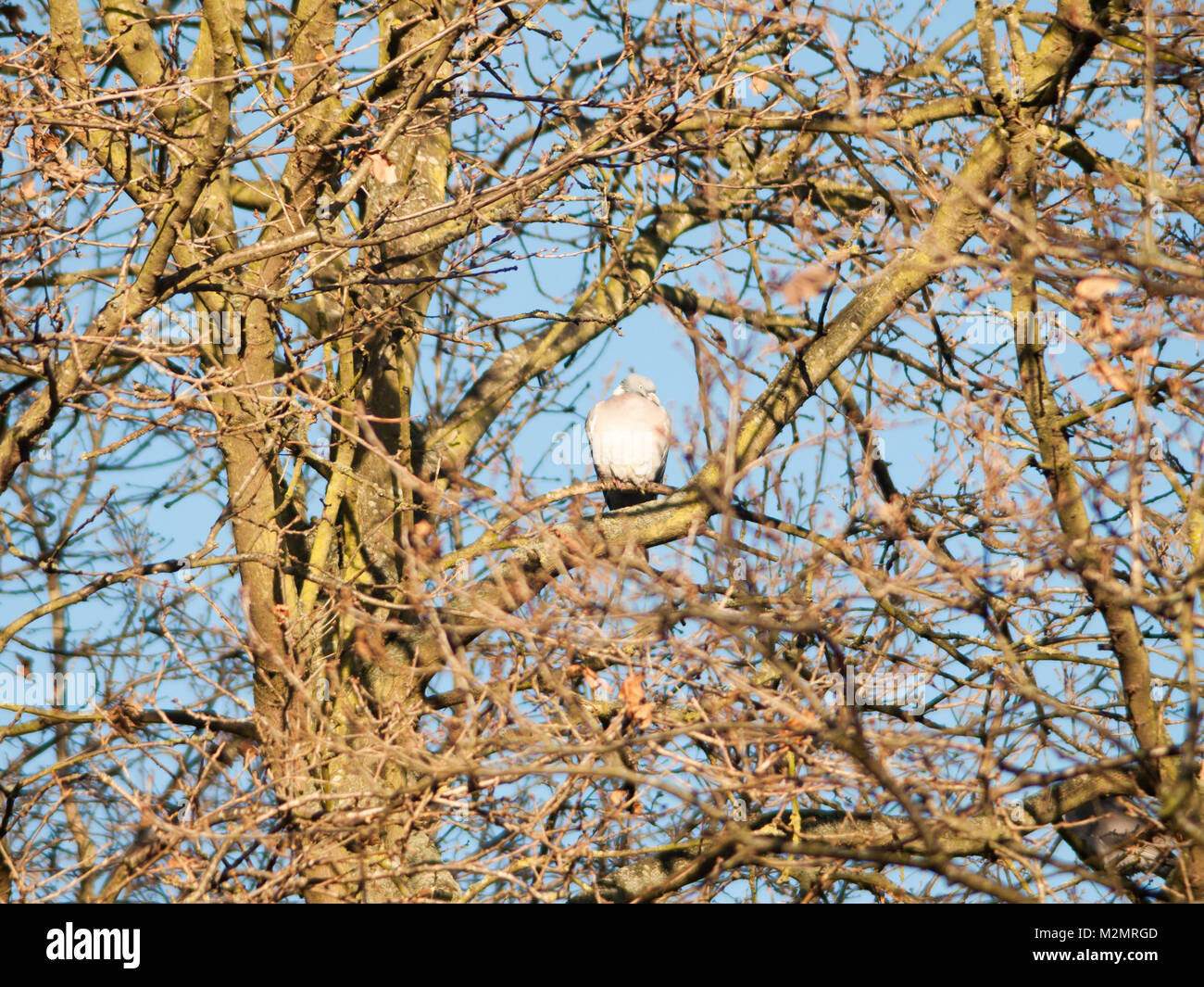 wood pigeon sitting up in tree high branches; essex; england; uk - Stock Image