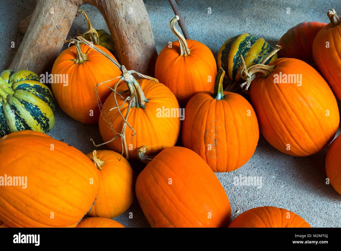 Autumn Pumpkin Thanksgiving and Halloween Background - orange pumpkins over wooden table. - Stock Image