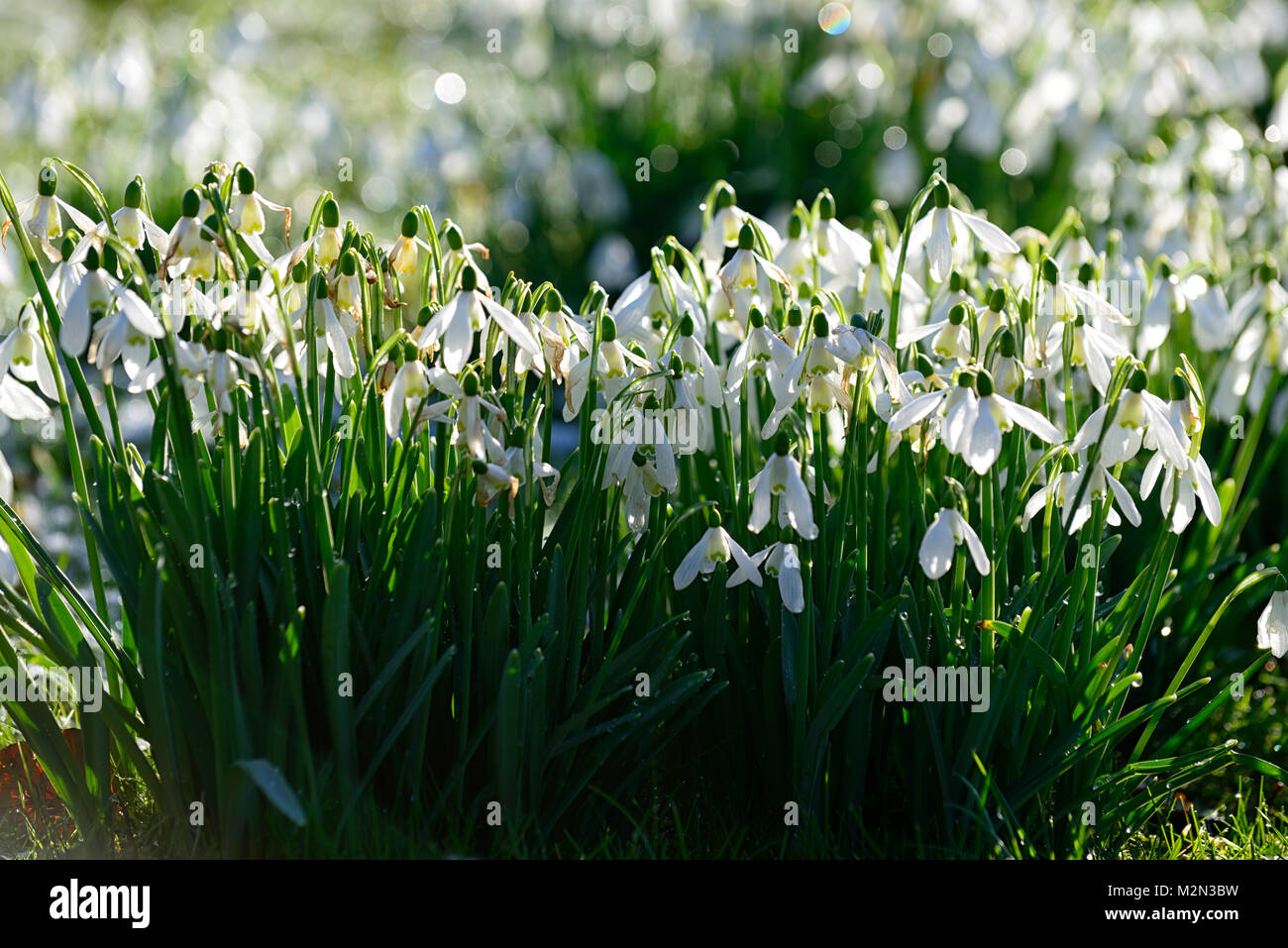 galanthus,snowdrops,snowdrop,carpet,backlit,illuminate,illuminated,stand out,standing out,spring,sun,sunshine,hope,joy,flower,flowers,flowering,RM - Stock Image