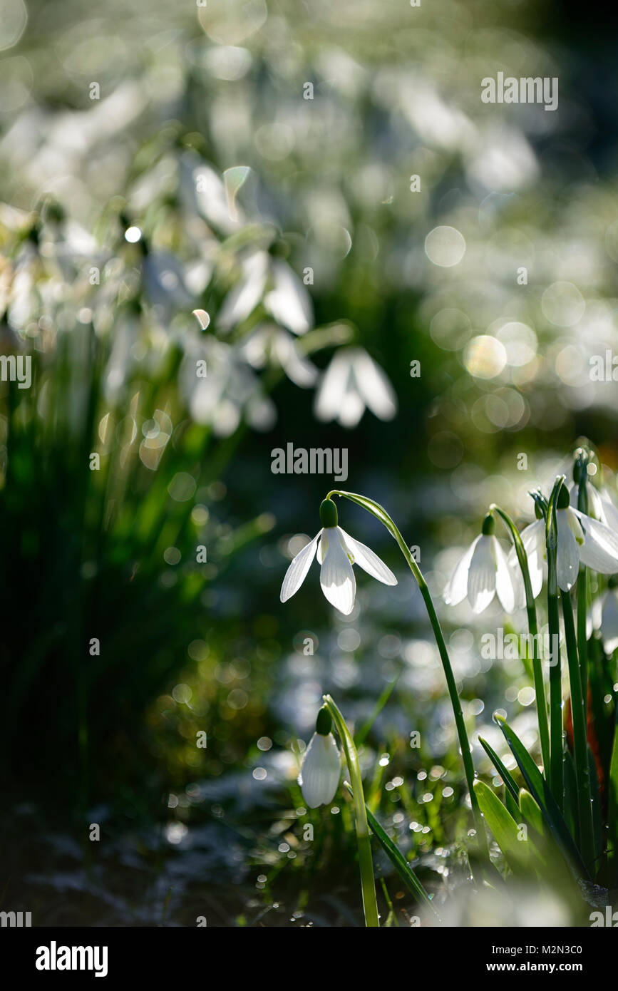 galanthus,snowdrops,snowdrop,carpet,backlit,illuminate,illuminated,stand out,standing out,spring,sun,sunshine,hope,joy,flower,flowers,flowering,RM Stock Photo