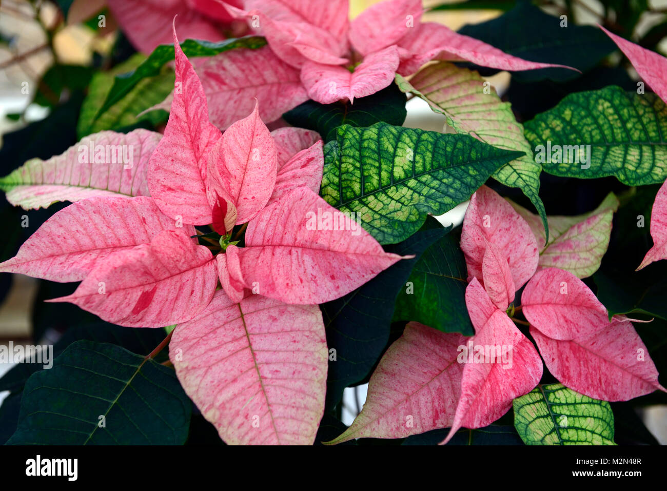euphorbia pulcherrima christmas feelings fantasy,poinsettia,pink,flower,flowers,flowering,christmas,associate,associated,christmas - Stock Image