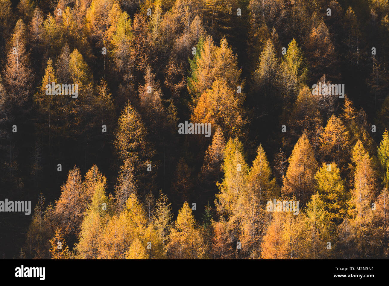 Larches Stock Photo