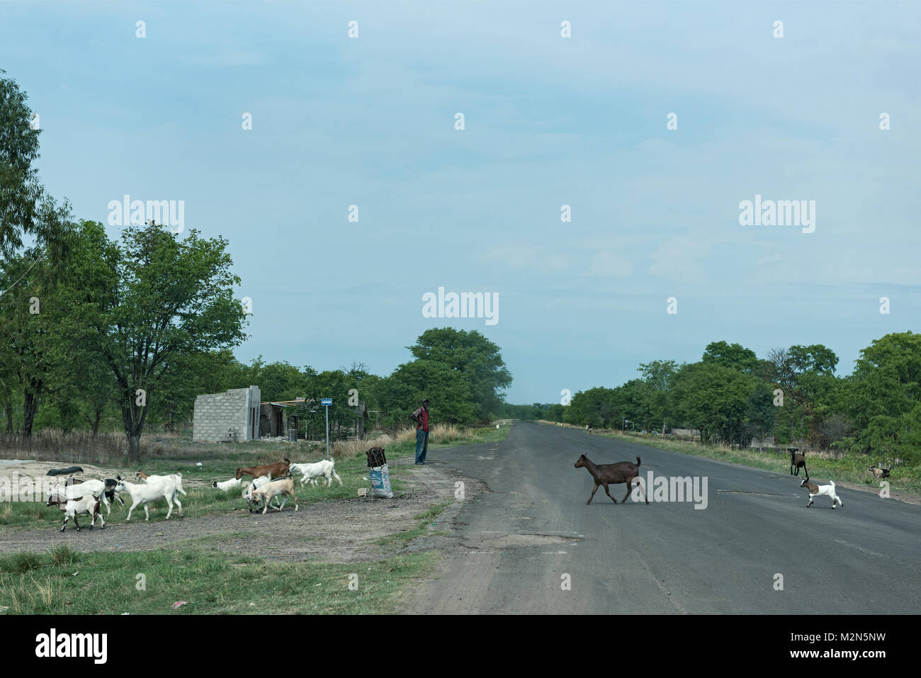 Shepherd with his goat flocking on the M10 road between Kazungula and Sesheke in southern Zambia parallel to the - Stock Image