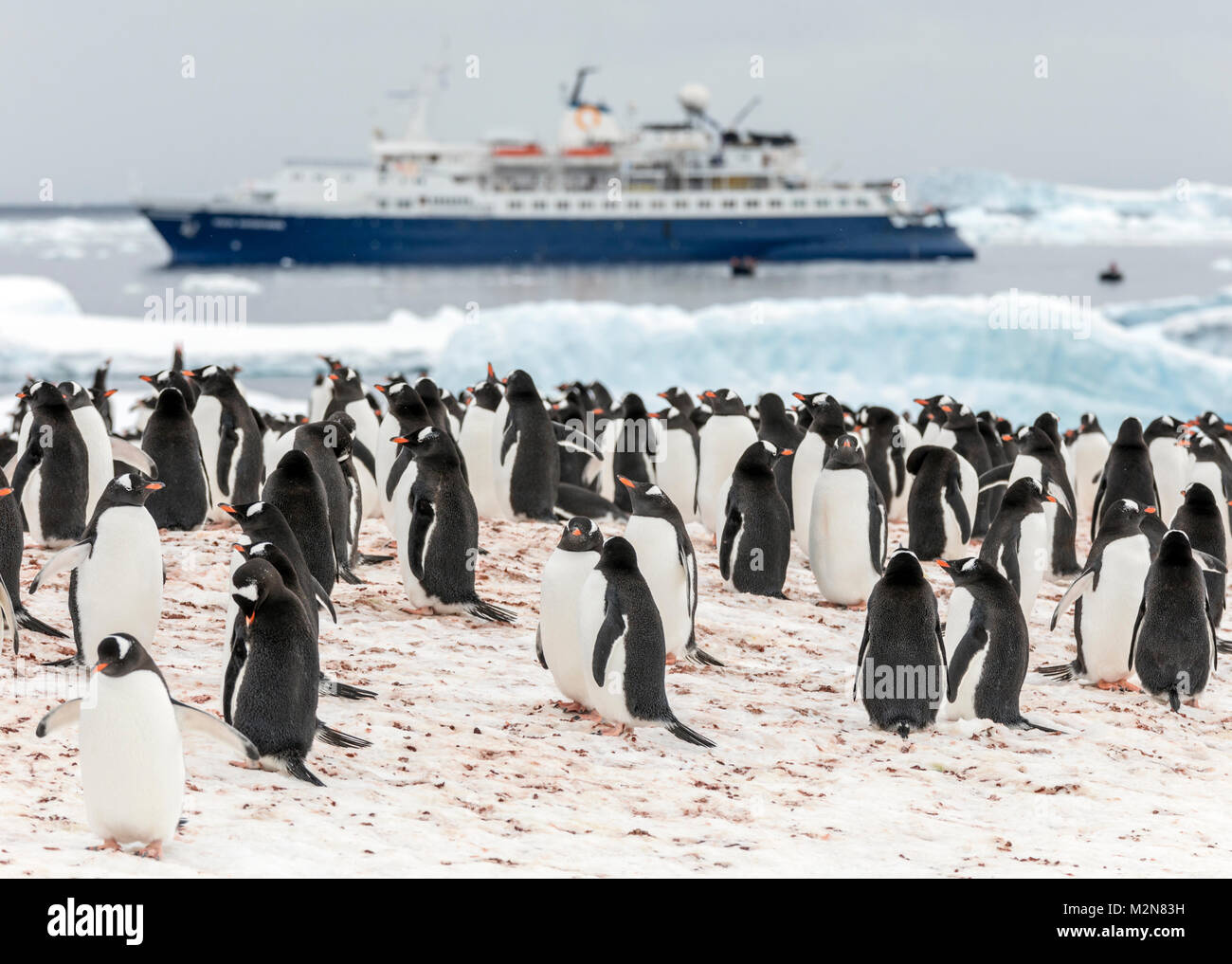 Long-tailed Gentoo penguins; Pygoscelis papua; Cuverville Island; Ocean Adventurer ship beyond; Antarctica - Stock Image