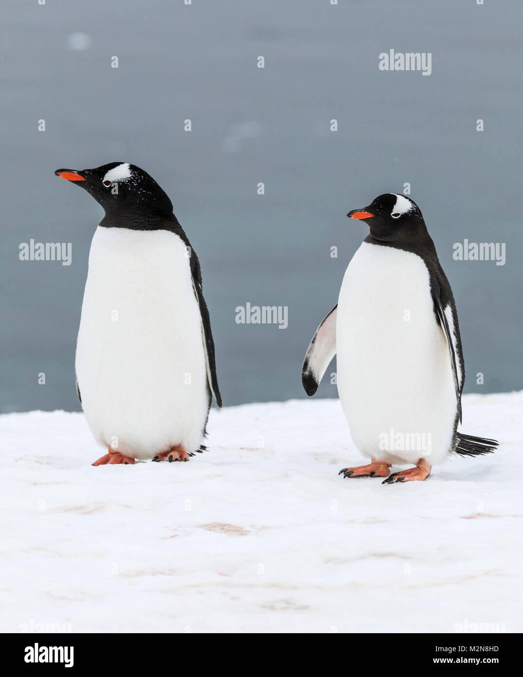 Long-tailed Gentoo penguin; Pygoscelis papua; Cuverville Island; Antarctica - Stock Image