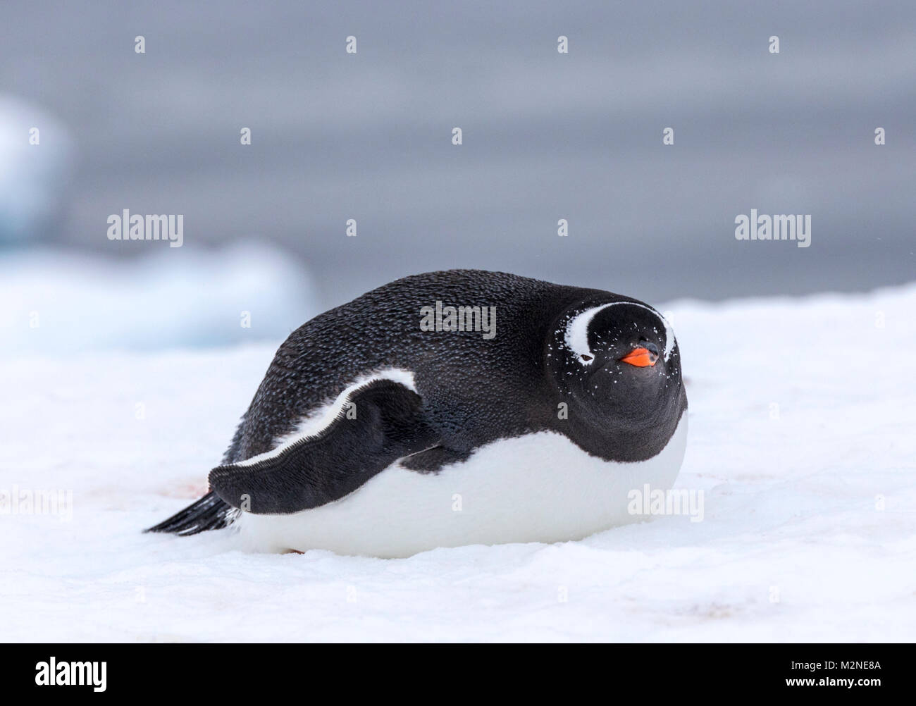 Long-tailed Gentoo penguin; Pygoscelis papua; Cuverville Island; Antarctica - Stock Image