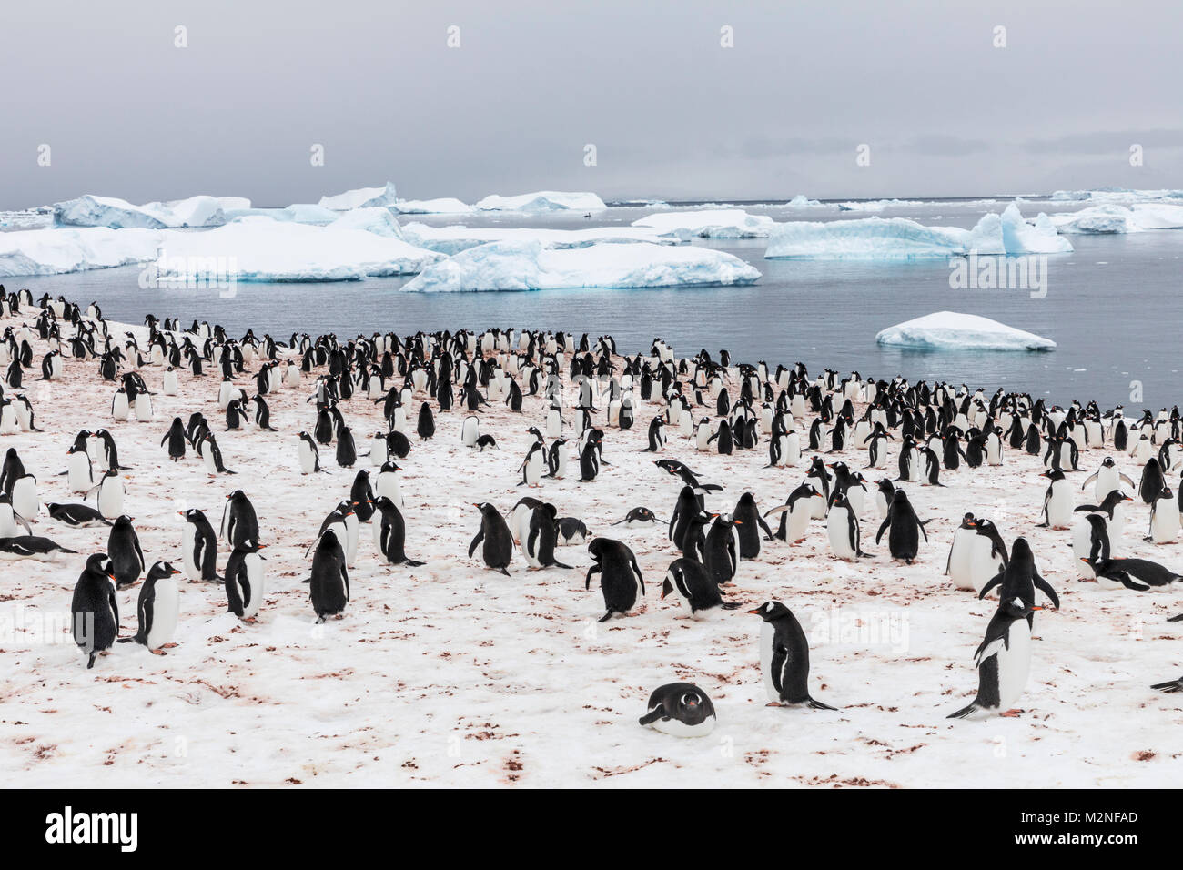 Long-tailed Gentoo penguin; Pygoscelis papua; Cuverville Island; Antarctica Stock Photo