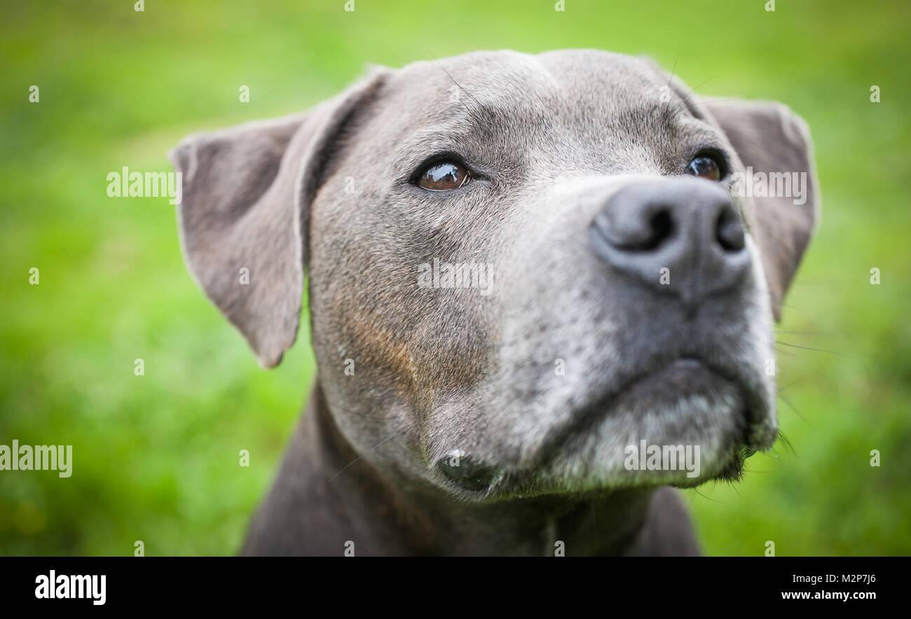 Staffordshire Bull Terrier - Stock Image