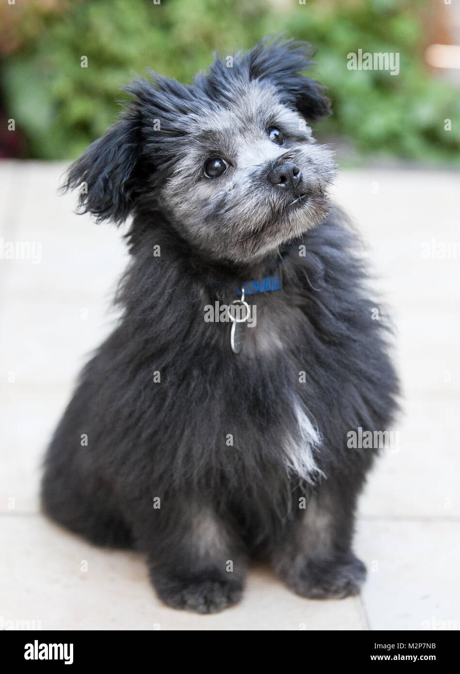 A Maltese Crossed With Shih Tzu Crossed With Pomeranian Puppy Stock Photo Alamy