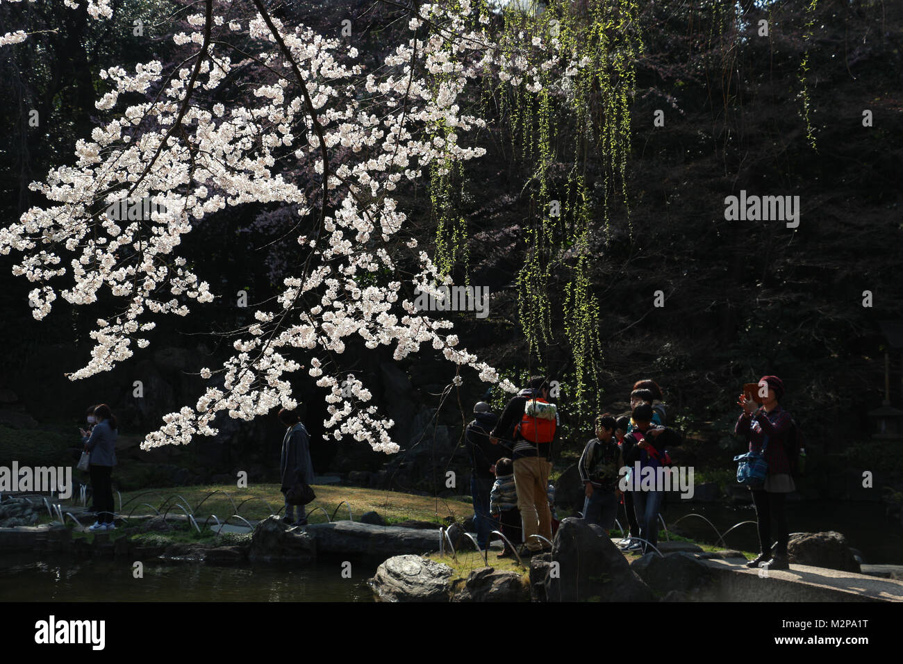 Yasukuni Shrine garden,Tokyo,Japan, has trees where the first cherry blossoms in Tokyo open; crowds flock to see - Stock Image
