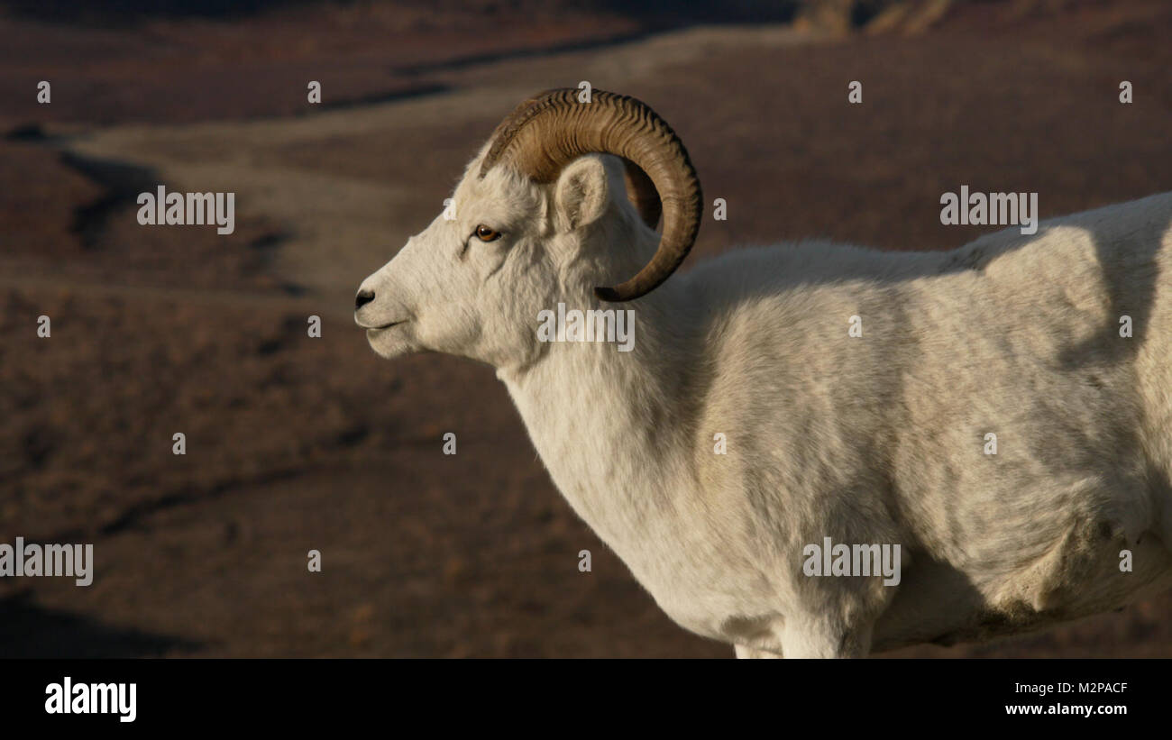 A full-curl ram in Denali National Park and Preserve - Stock Image