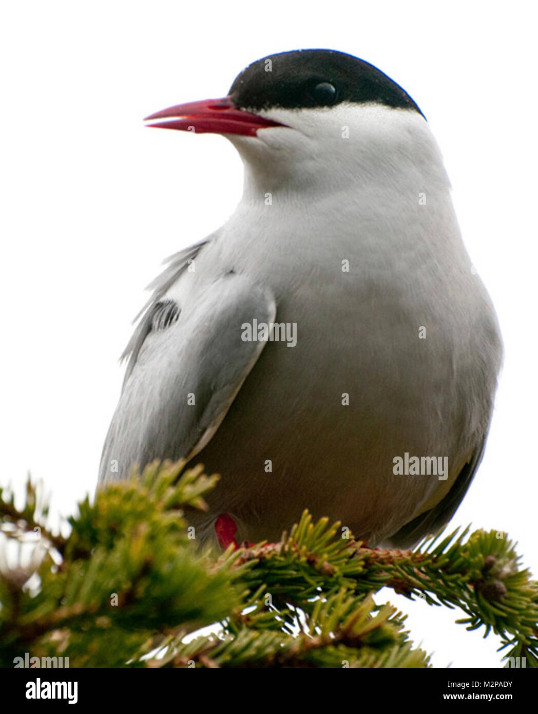 Arctic tern in Lake Clark National Park and Preserve - Stock Image