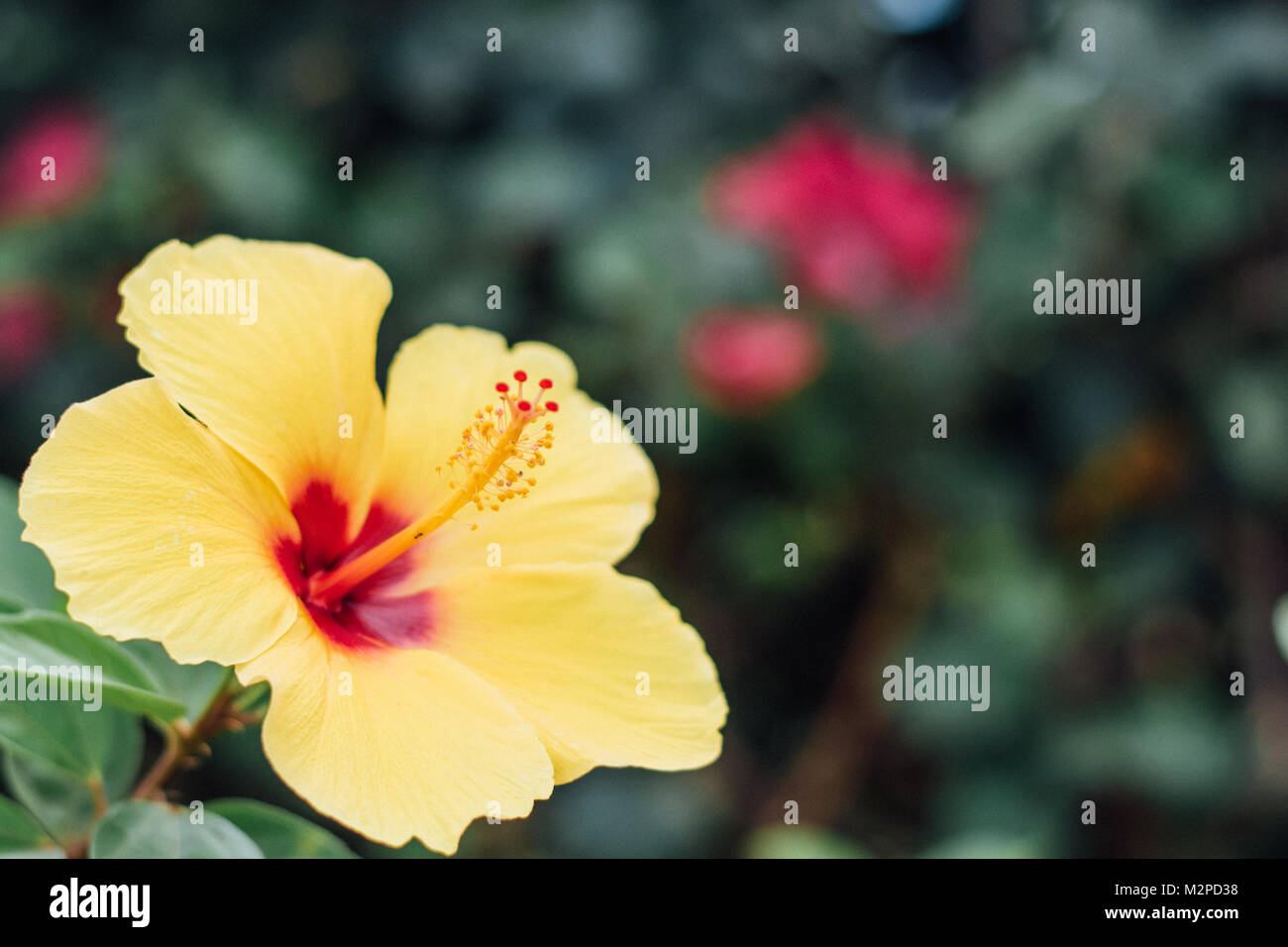 Cheery Yellow Hibiscus with room for copy symbolizing tropical parasdise or hawaii Stock Photo