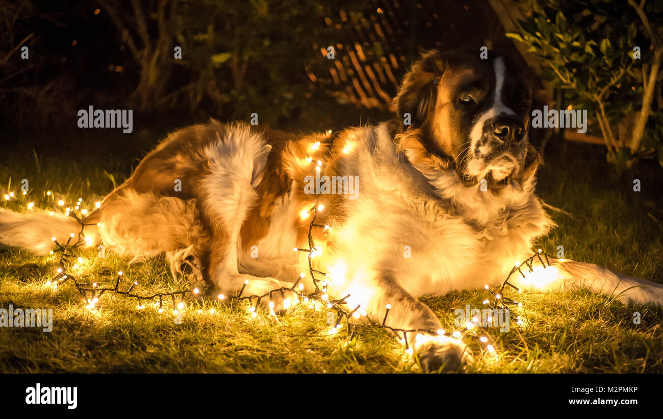 a picture of my dog in the dark with christmas lights stock image
