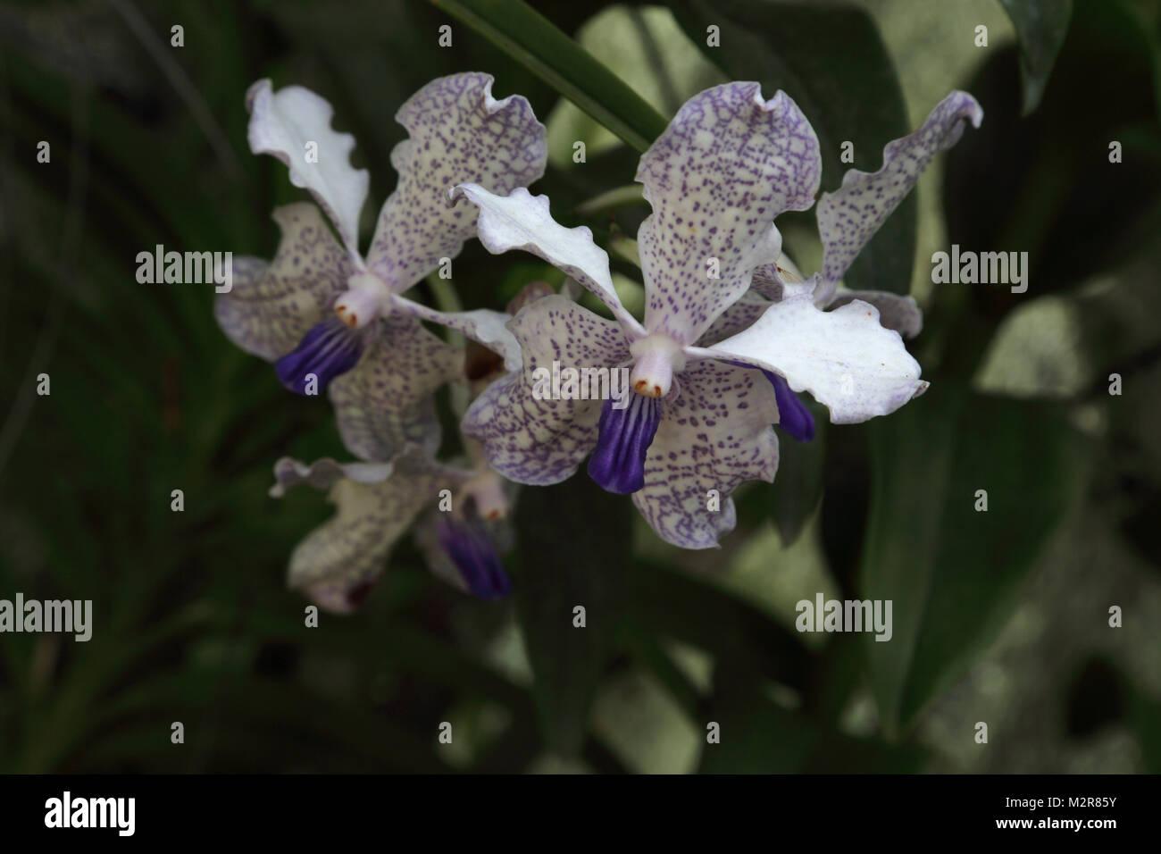 Peradeniya Kandy Central Province Sri Lanka Peradeniya Royal Botanic Gardens Orchid House - Stock Image