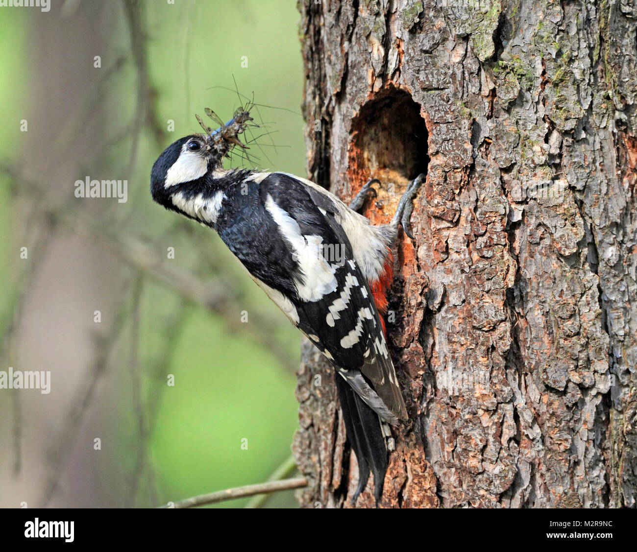great woodpecker female, Dendrocopos major, with food for hungry nestlings on a breeding burrow in a trunk of a - Stock Image