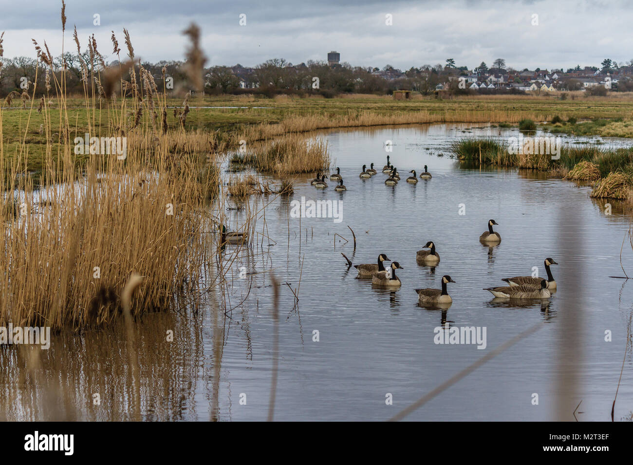 Canada geese on flooded field at RSPB reserve of Exminster Marsh, Exminster, south Devon. Near the Exe Estuary and - Stock Image