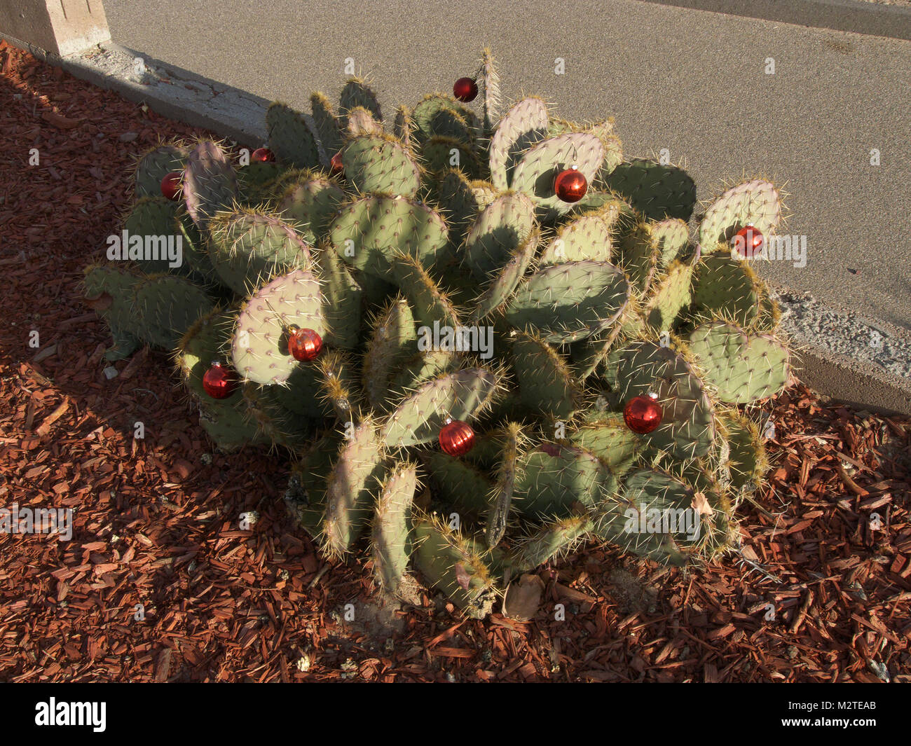 Prickly Pear cactus with X-mas ornaments - Stock Image