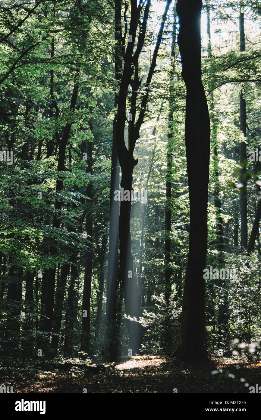 Beam of light in the spring wood. - Stock Image
