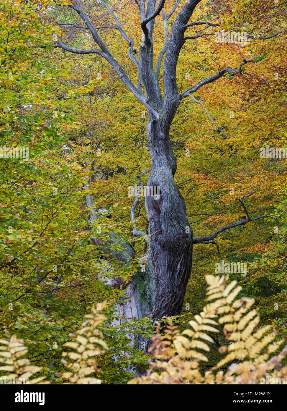 Oak in autumn, Urwald Sababurg, Reinhardswald, Hessia, Germany - Stock Image
