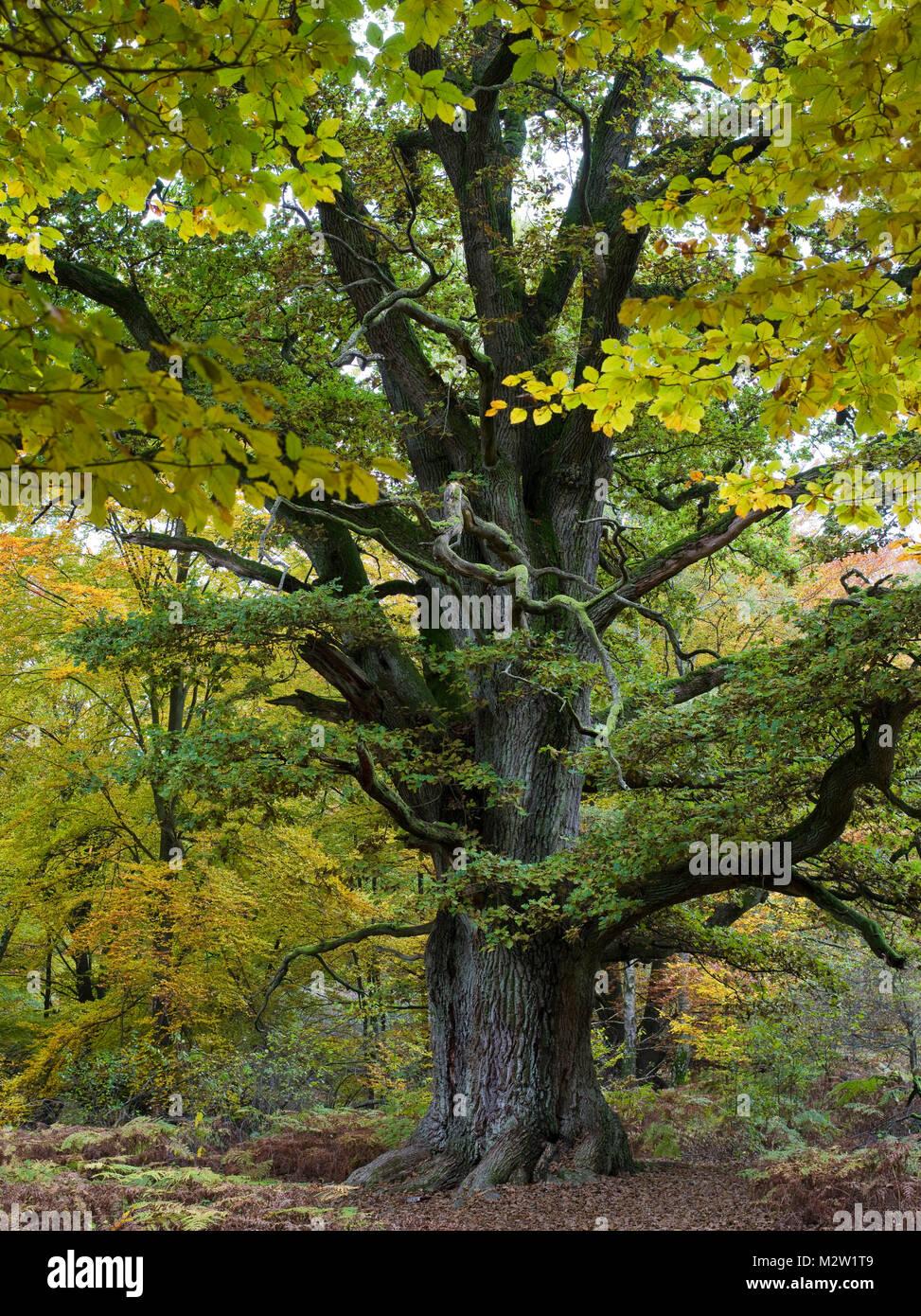 Old oak, Urwald Sababurg, Reinhardswald, Hessia, Germany - Stock Image