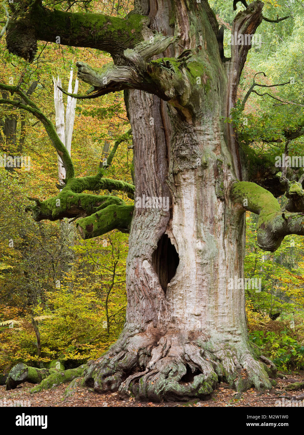 Kamineiche (oak), Urwald Sababurg, Reinhardswald, Hessia, Germany - Stock Image