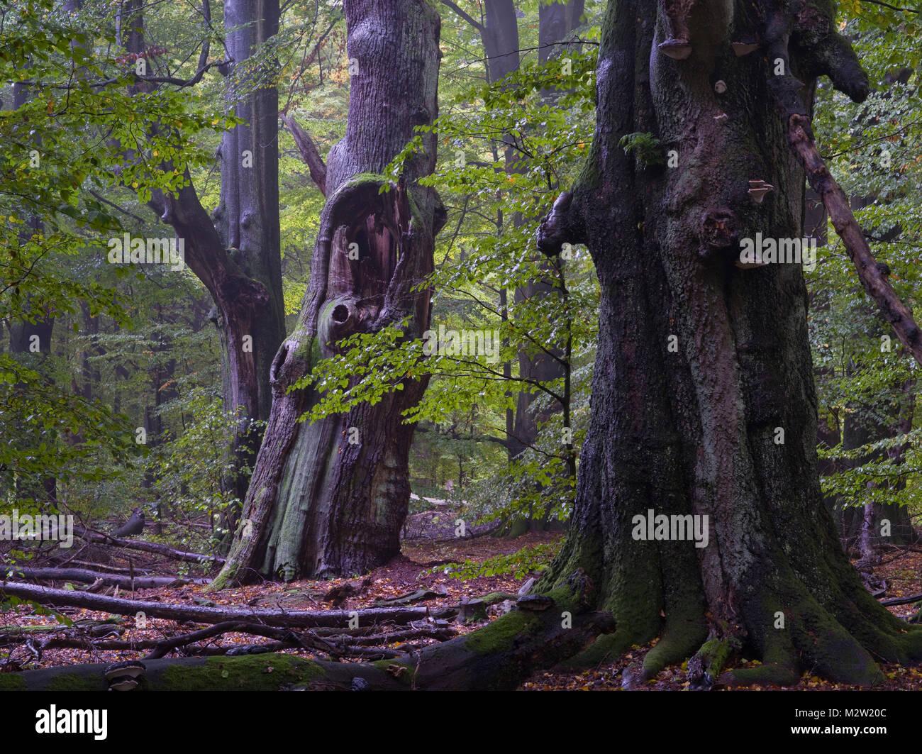 Old beeches, Urwald Sababurg, Reinhardswald, Hessen - Stock Image