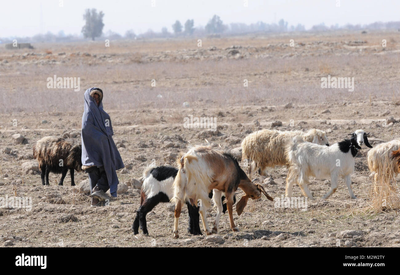 An Afghan child plays with a herd of goats on her families