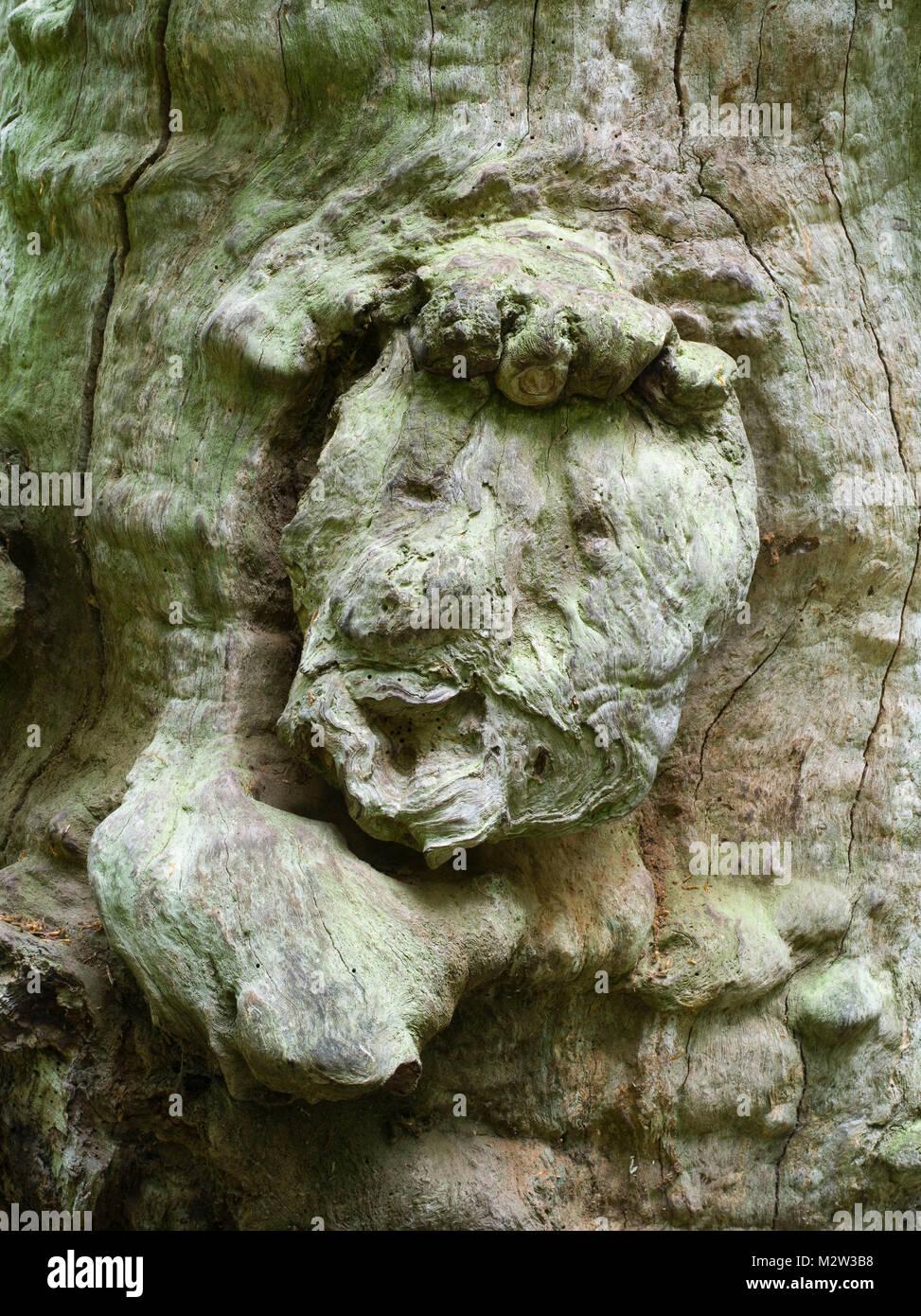 forest spirit, tree face in old beech, Urwald Sababurg, Reinhardswald, Hessia, Germany - Stock Image